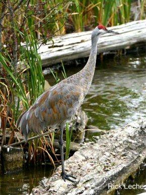 Drama In World Of Birds Sandhill Crane >> Sandhill Crane
